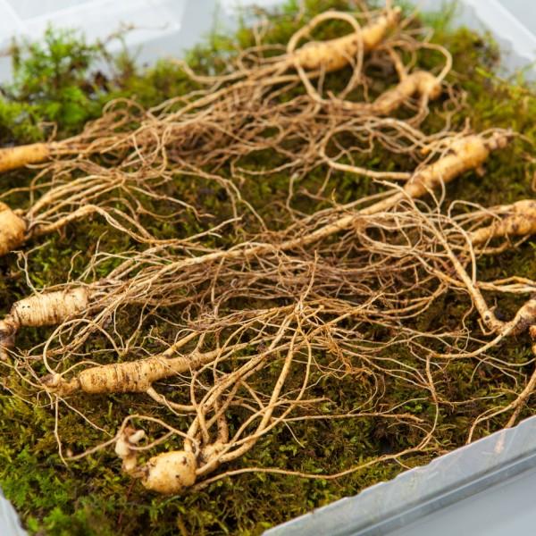 산양산삼 5~6년근 5뿌리