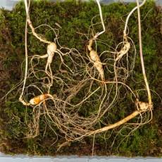 산양산삼 9~10년근 5뿌리