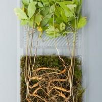 산양산삼 11~12년근 10뿌리