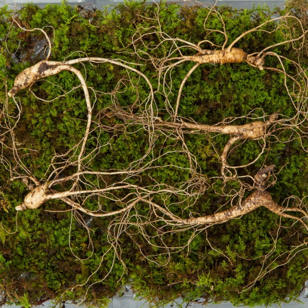 산양산삼 7~8년근 5뿌리